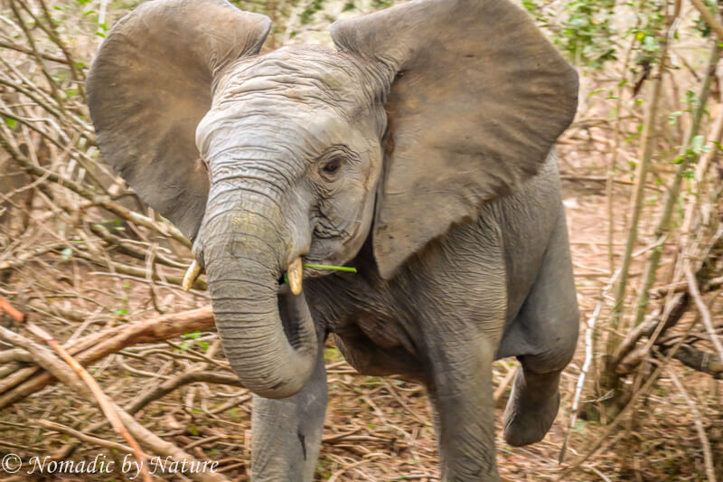 Elephant Charging through the Forest at Me, Umani Springs