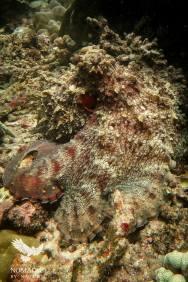 Camouflaged Octopus, Bazaruto Island, Vilanculos, Mozambique