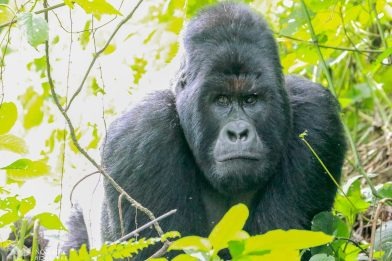 Humba, The Silverback Appears on the Bluff, Virunga National Park, DR Congo