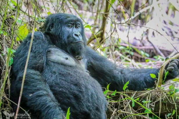 Juvenile Gorilla Relaxing, Virunga National Park, DR Congo