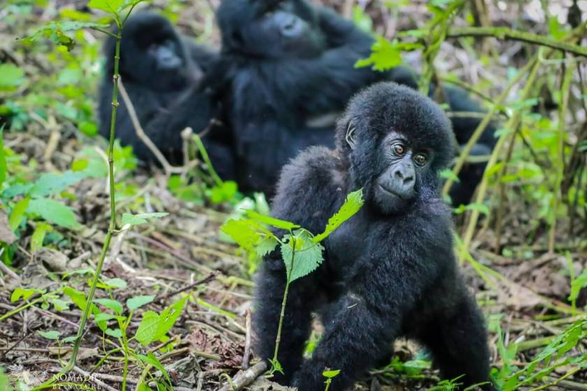 Baby Gorilla Sauntering Over to Me, Virunga National Park, DR Congo