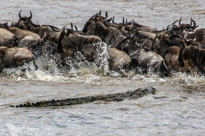 A Monster Crocodile Stalks the Herd