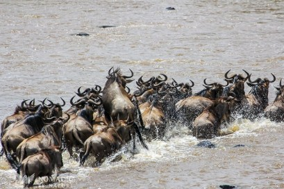 A Wildebeest Mistakes a Rock for a Croc
