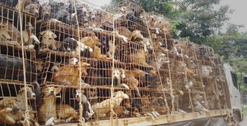 , Saving Dogs at Soi Dog Foundation