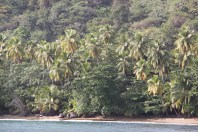 Tobago, palms down to the waters edge.