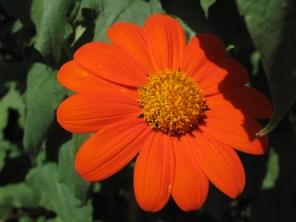 Daisy close-up
