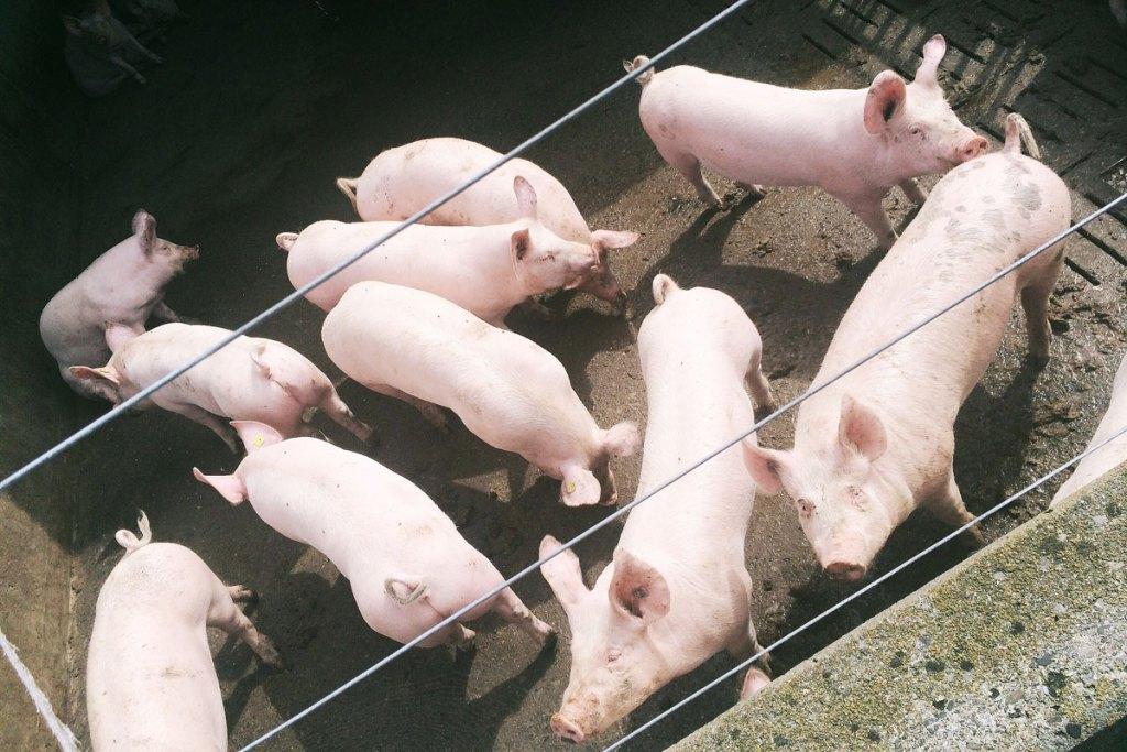 Switzerland pigs on farm