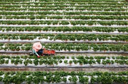 Strawberry Fields in Dahu, Taiwan