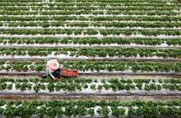 Strawberry Fields in Dahu, Taiwan