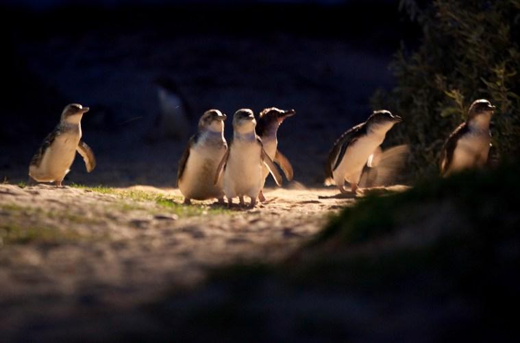 Penguin Parade Philips Island Australia