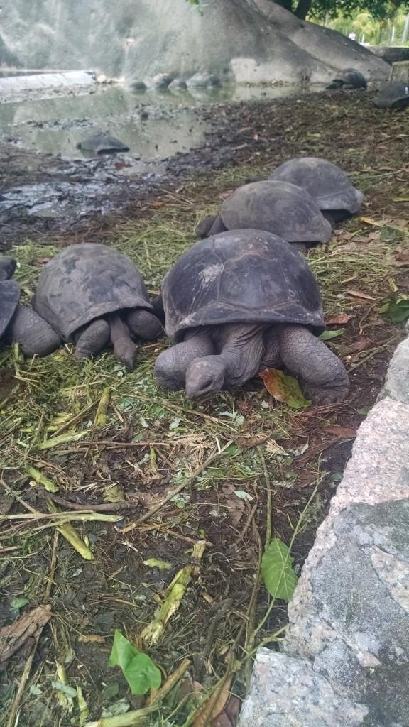 Giant Tortoises, La Digue Island
