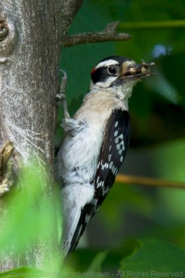 Dad downy woodpecker with a beak full of baby food
