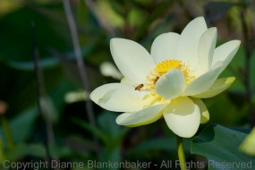 The lilies on Amincola Marsh looked as beautiful to the bees as the did to me