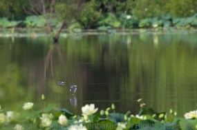 Two Belted Kingfishers streaked across Amnicola Marsh