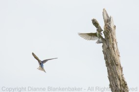 The Tree Swallows had plenty of good trees to nest in at Curtain Pole