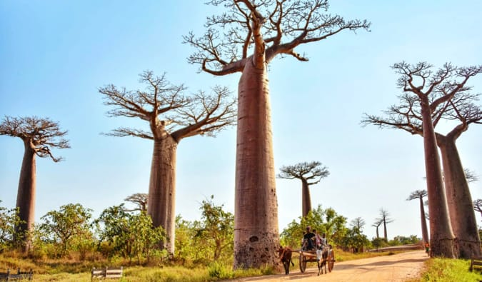 A wide avenue with large baobab trees