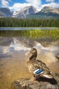 Rocky Mountain Duck
