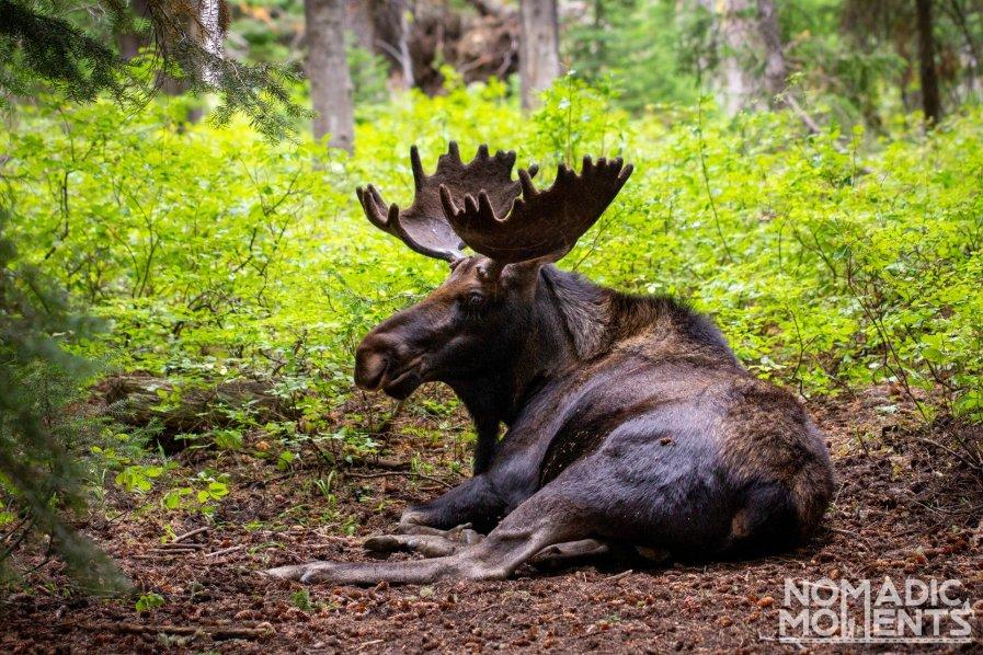 Grand Teton Moose