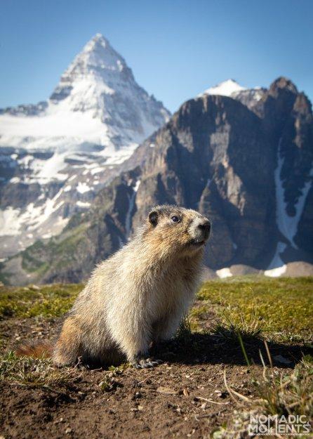 Assiniboine Marmot
