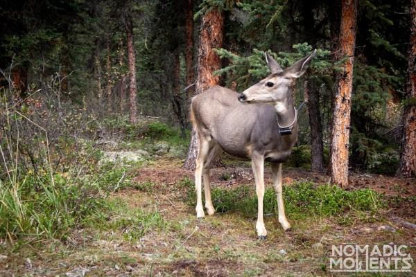 Maligne Deer