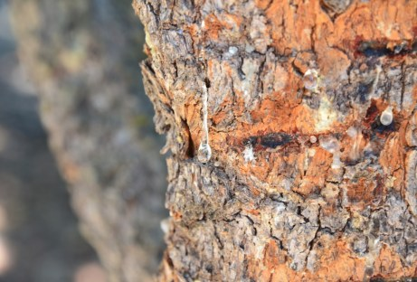 Mastiha tree in Chios, Greece