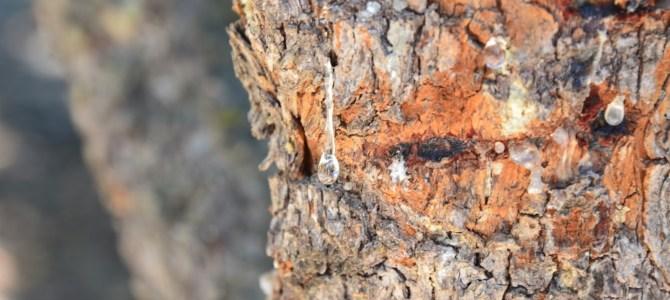 The Mastiha Tree