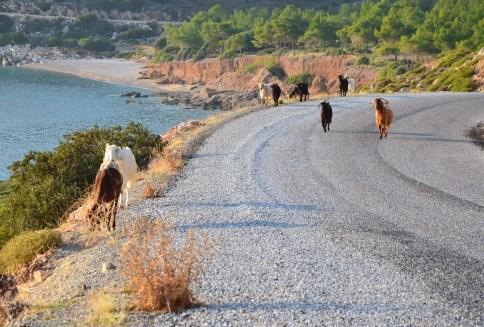 Goat traffic on Datça Peninsula, Turkey