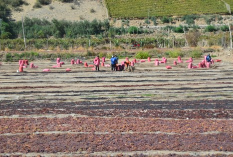 Grape harvest in Valle del Elqui, Chile