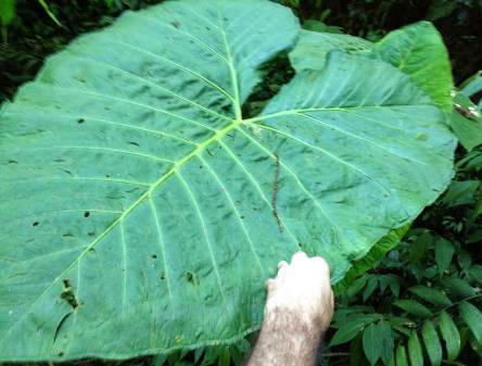 A gigantic leaf at Parque Municipal Natural Santa Emilia, Belén de Umbría, Risaralda, Colombia
