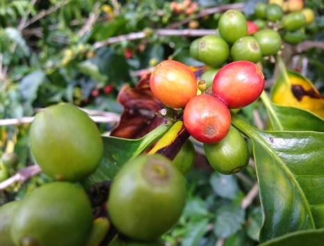 Coffee Beans at Parque Nacional del Café in Quindío, Colombia