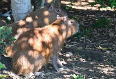 Capybara at Parque Nacional de la Uva La Unión Valle del Cauca Colombia