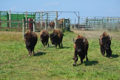 Bison running to the tractor at Broken Wagon Bison in Porter County, Indiana