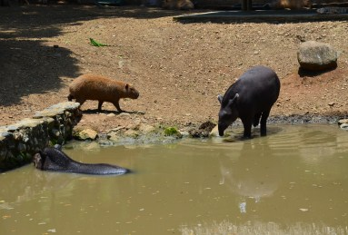 Capybara and tapirs at Zoológico de Cali in Colombia