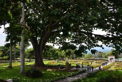 The tree at Hacienda El Paraíso in Valle del Cauca, Colombia
