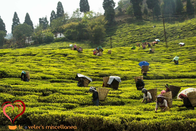 Teapickers of Temi
