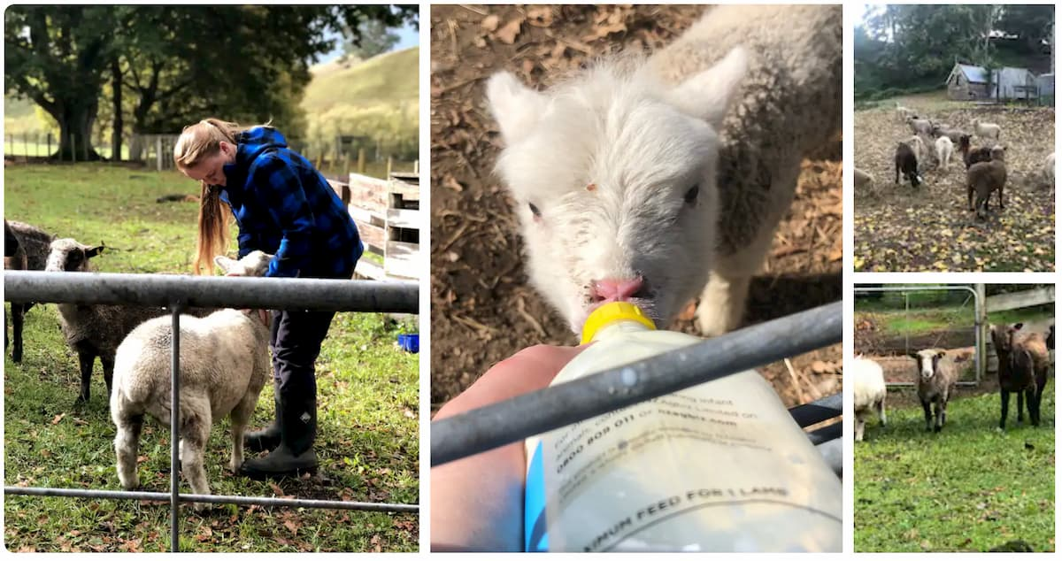 expériences Airbnb en famille Nouvelle-Zélande Rencontre des agneaux et des moutons