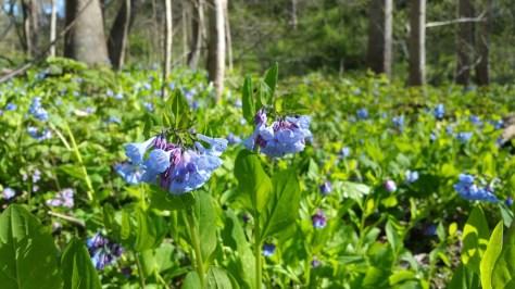 Woodland carpet of Virginica bluebells