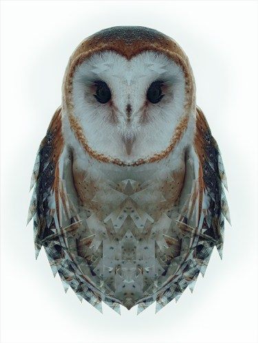 Animalia: Barn Owl