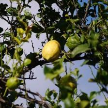 Lemon tree very pretty