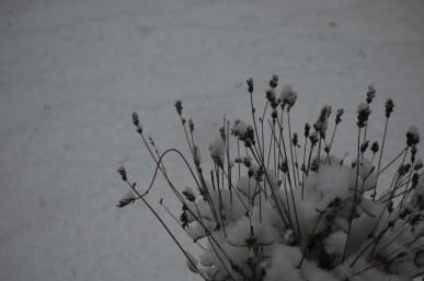 Lavender's white