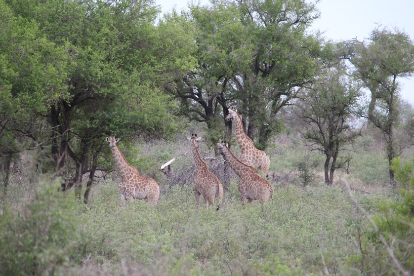 Giraffes as seen from our viewing deck
