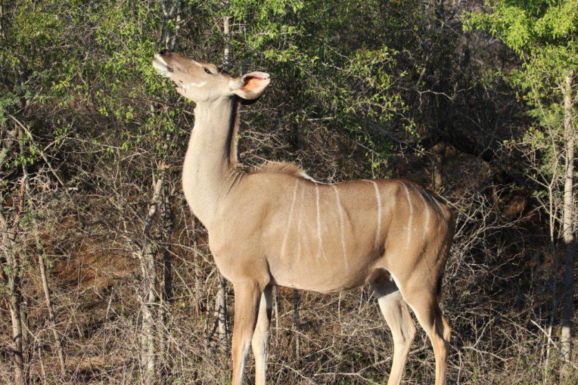 Female Kudu (they're tasty!)
