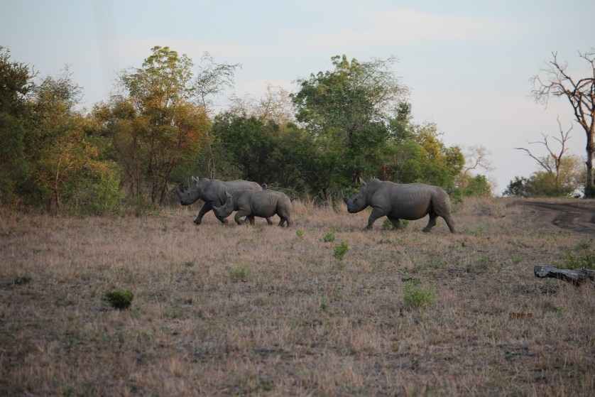 More white rhinos!