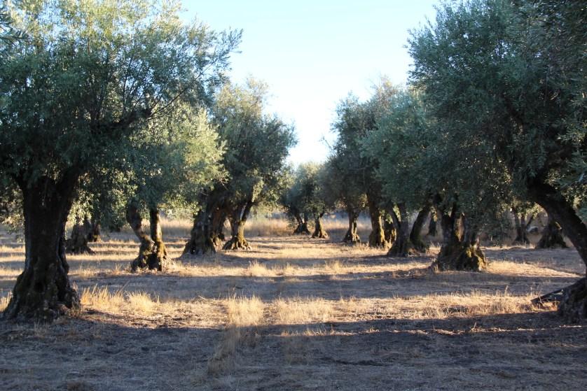 Olive Trees at Convento do Espinheiro