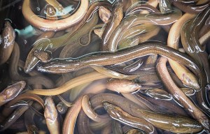 What Does Eel Taste Like