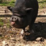 Petey the Sweet Pig