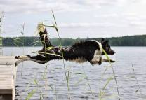 Border Collie Chasing Geese