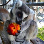 lemurs-gallery-8