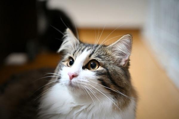 obat kucing flu