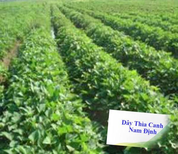 vườn dây thìa canh Nam Định